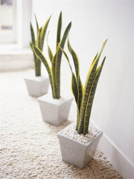 2D274905752924-Snake-Plant.today-inline-large